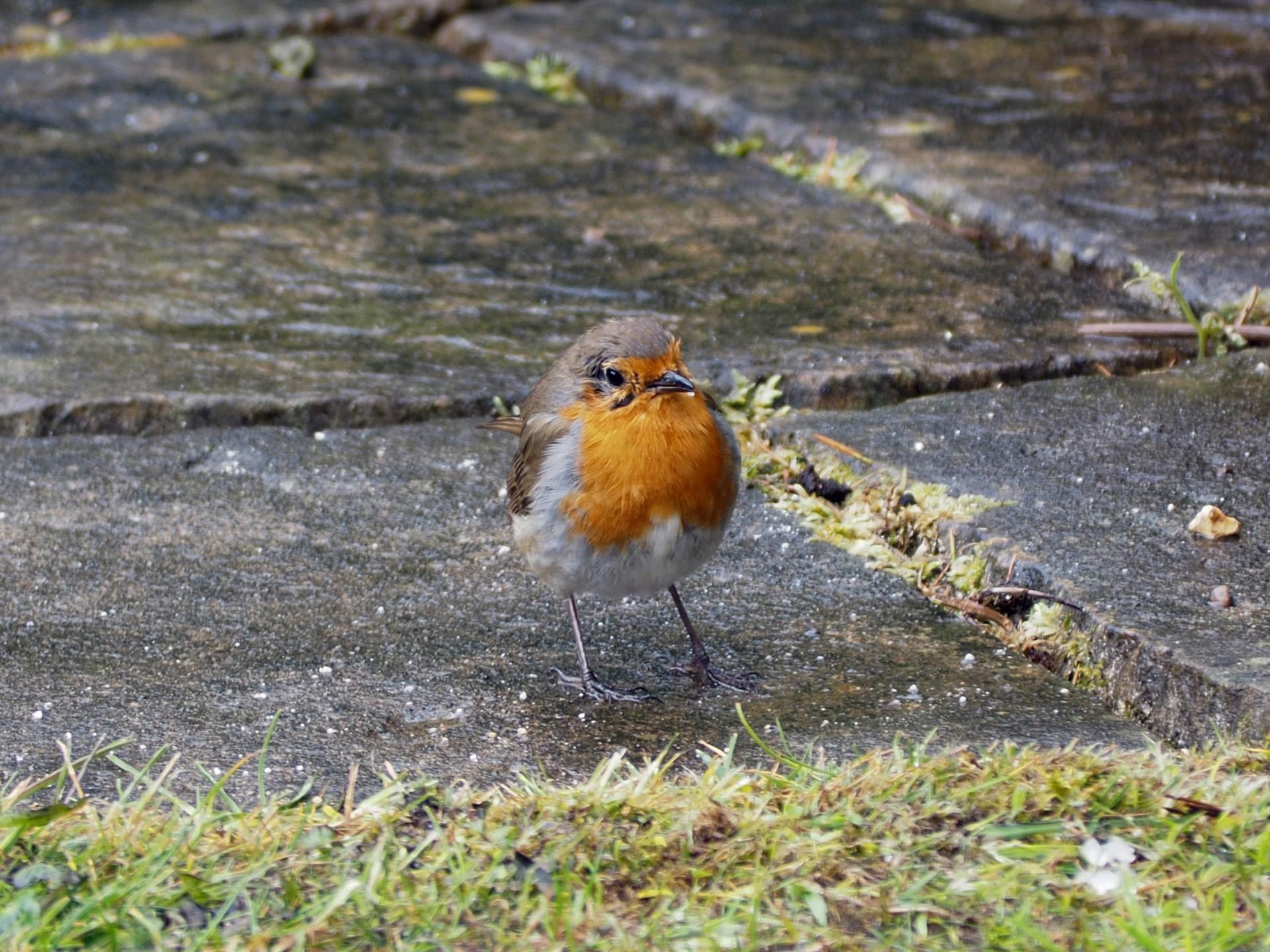 Garden robin.